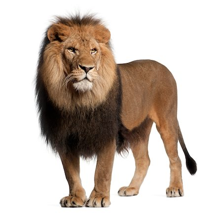 Lion standing and looking away Stock Photo - Premium Royalty-Free, Code: 6106-06042817