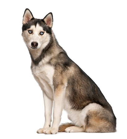 sit - Siberian Husky (8  months old) sitting Stock Photo - Premium Royalty-Free, Code: 6106-06042821