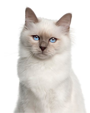 Close-up of a Birman (5 months old) Stock Photo - Premium Royalty-Free, Code: 6106-06165427