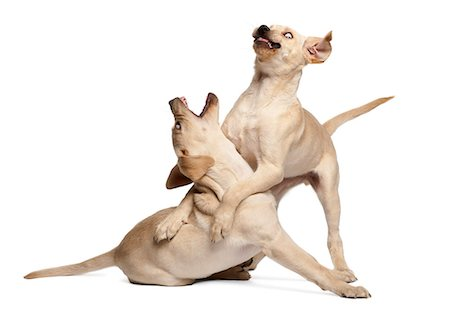 sit - Young Labradors fighting Stock Photo - Premium Royalty-Free, Code: 6106-06165430