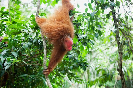 Red Uakari monkey hanging from a tropical vine. Stock Photo - Premium Royalty-Free, Code: 6106-06165706