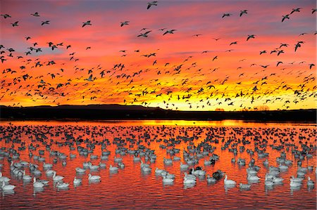 flying bird - Snow geese in winterrange Stock Photo - Premium Royalty-Free, Code: 6106-06114067