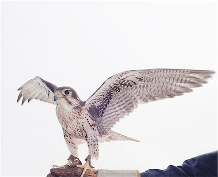 Portrait of a prairie falcon ready to fly. Stock Photo - Premium Royalty-Free, Code: 6106-06114070