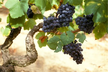 Merlot Grapes Stock Photo - Premium Royalty-Free, Code: 6106-06114235