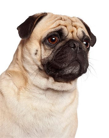 pvg - Close-up of a Pug (3 years old) Stock Photo - Premium Royalty-Free, Code: 6106-06308514