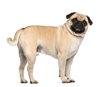 pvg - Pug (3 years old) Stock Photo - Premium Royalty-Free, Code: 6106-06308519