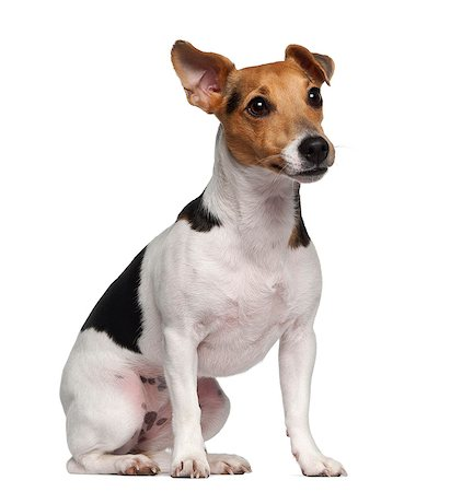 sit - Jack Russell Terrier (1 year old) sitting Stock Photo - Premium Royalty-Free, Code: 6106-06308522