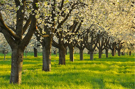 Row of Blossom Cherry Trees Stock Photo - Premium Royalty-Free, Code: 6106-06308958