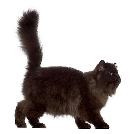domestic - Persian (7 months old) Stock Photo - Premium Royalty-Free, Code: 6106-06335620