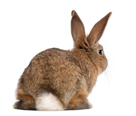 focus on background - Rear view of a rabbit Stock Photo - Premium Royalty-Free, Code: 6106-06495882