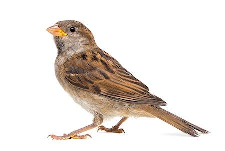 House Sparrow Stock Photo - Premium Royalty-Free, Code: 6106-06496004