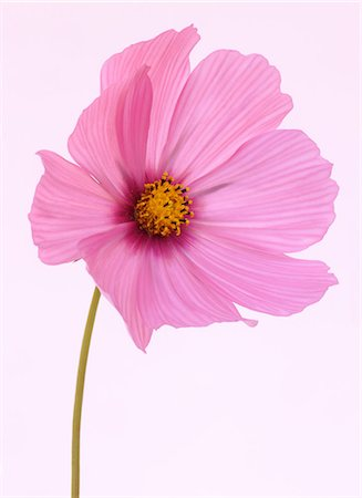 stem - Cosmos flower in soft shades of pink. Stock Photo - Premium Royalty-Free, Code: 6106-06496200