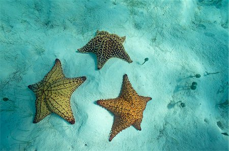 sea star - Three starfishes on sandy seabed Stock Photo - Premium Royalty-Free, Code: 6106-06497268