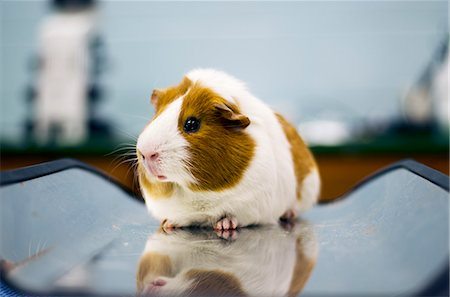 Guinea Pig Stock Photo - Premium Royalty-Free, Code: 6106-06434423