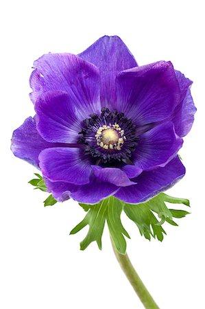 blue Anemone flower Stock Photo - Premium Royalty-Free, Code: 6106-06536028