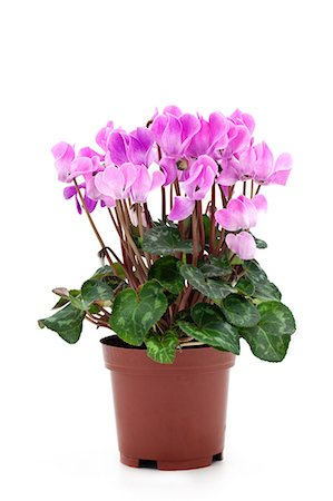 potted plant - pink cyclamen Stock Photo - Premium Royalty-Free, Code: 6106-06536034