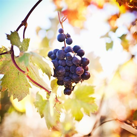 Zinfandel grapes growing on vine Stock Photo - Premium Royalty-Free, Code: 6106-06536541