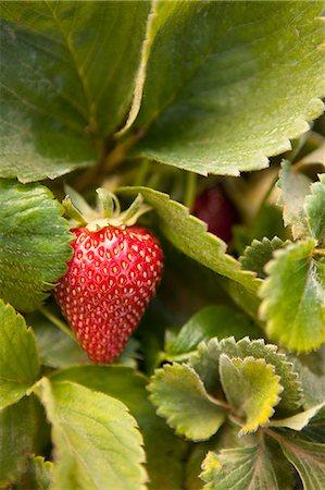 Strawberry on vine Stock Photo - Premium Royalty-Free, Code: 6106-06536640