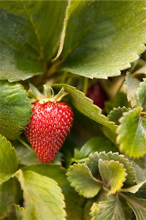 Strawberry on vine Stock Photo - Premium Royalty-Free, Code: 6106-06536640