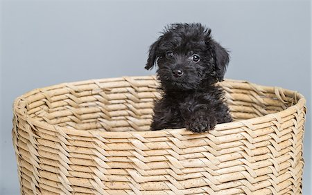 Black puppy, mixed breed Stock Photo - Premium Royalty-Free, Code: 6106-06613621