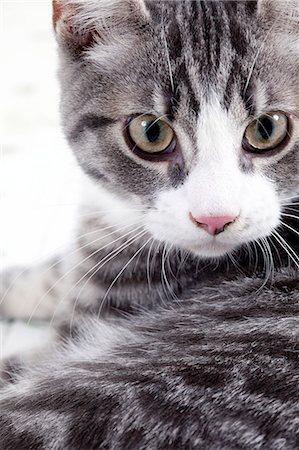domestic - Kitten looking straight at camera Stock Photo - Premium Royalty-Free, Code: 6106-06830347