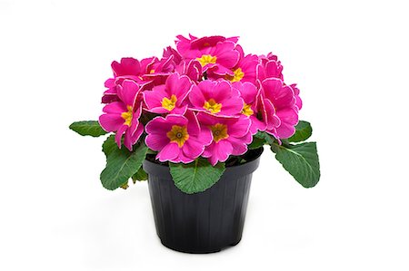 potted plant - potted primrose Stock Photo - Premium Royalty-Free, Code: 6106-06832029