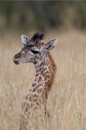 Giraffe (Giraffa camelopardalis) calf in tall grass, close-up Stock Photo - Premium Royalty-Free, Code: 6106-06982445