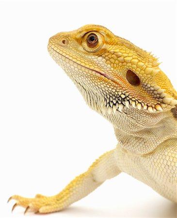 Bearded dragon (Pogona Vitticeps) close-up Stock Photo - Premium Royalty-Free, Code: 6106-06986320
