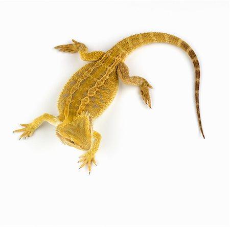 Bearded dragon (Pogona Vitticeps) overhead view Stock Photo - Premium Royalty-Free, Code: 6106-06986321