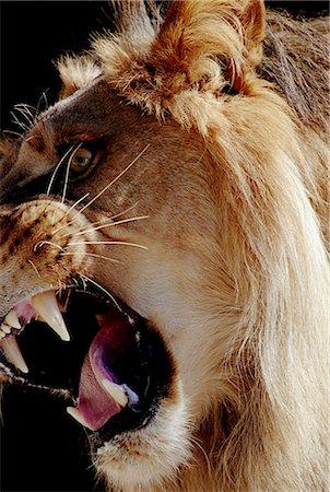 roar lion head picture - Lion (Panthera leo) growling Stock Photo - Premium Royalty-Free, Code: 6106-06992081