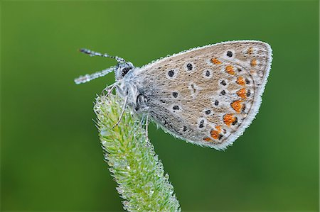 Common Blue (Polyommatus icarus) butterfly. Stock Photo - Premium Royalty-Free, Code: 6106-07069982