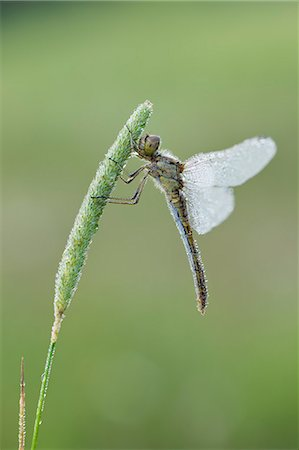 dragon fly - Vagrant Darter (Sympetrum vulgatum) dragonfly. Stock Photo - Premium Royalty-Free, Code: 6106-07069987