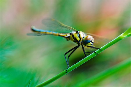 dragon fly - Dragon Fly Stock Photo - Premium Royalty-Free, Code: 6106-07070730