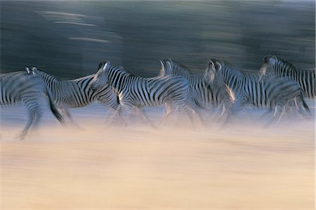 Herd of Zebras in Blurred Motion, Moremi, Botswana Stock Photo - Premium Royalty-Free, Code: 6106-07001442