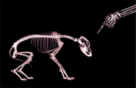 dog x-ray - X-ray of owner disciplining dog Stock Photo - Premium Royalty-Free, Code: 6106-07011855