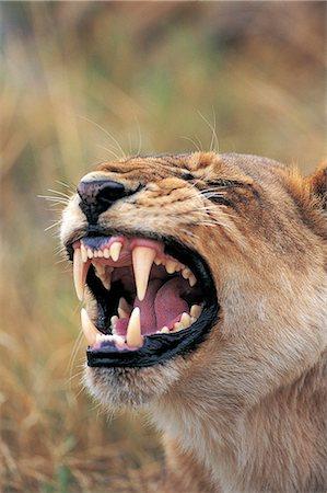 roar lion head picture - Lion (Panthera leo) Stock Photo - Premium Royalty-Free, Code: 6106-07012407