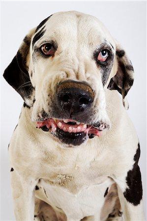 Harlequin Great Dane growling, studio shot Stock Photo - Premium Royalty-Free, Code: 6106-07024546