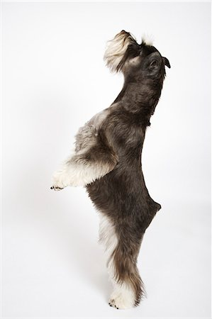 Miniature Schnauzer standing on hind legs, studio shot, side view Stock Photo - Premium Royalty-Free, Code: 6106-07024557