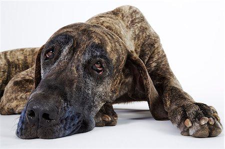 Great Dane lying down in studio, close-up Stock Photo - Premium Royalty-Free, Code: 6106-07025204