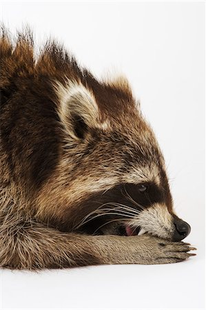 Racoon lying down, side view, close up, studio shot Stock Photo - Premium Royalty-Free, Code: 6106-07025325