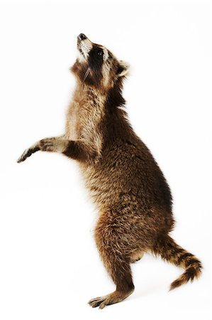 Racoon standing on hind legs, side view, studio shot Stock Photo - Premium Royalty-Free, Code: 6106-07025326