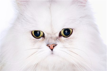 Studio shot of white Persian cat, close-up Stock Photo - Premium Royalty-Free, Code: 6106-07026435