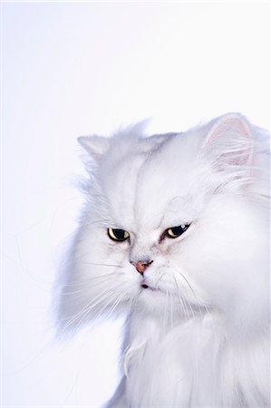 Studio shot of white Persian cat, close-up Stock Photo - Premium Royalty-Free, Code: 6106-07026436