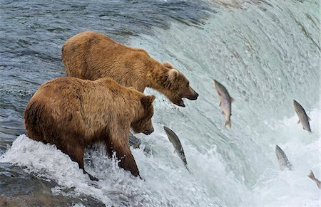 Two Brown Bears catching salmon at Brook Falls Stock Photo - Premium Royalty-Free, Code: 6106-07029436