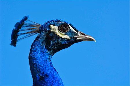 Peacock, Pavo muticus Stock Photo - Premium Royalty-Free, Code: 6106-07029837