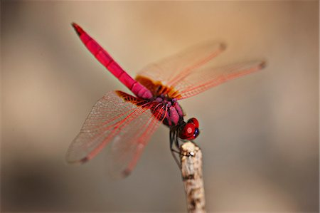 dragon fly - Dragonfly Stock Photo - Premium Royalty-Free, Code: 6106-07029997