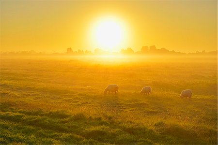sun - Meadow with Sheeps Stock Photo - Premium Royalty-Free, Code: 6106-07120169