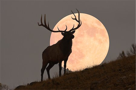 silhouettes - Majestic Bull Elk and Full Moon Rise (composite) Stock Photo - Premium Royalty-Free, Code: 6106-07120176