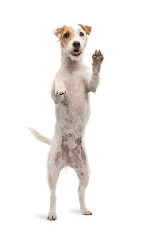 Parson Russel Terrier standing on hind legs Stock Photo - Premium Royalty-Free, Code: 6106-07120463
