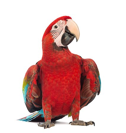 Green-winged Macaw looking away Stock Photo - Premium Royalty-Free, Code: 6106-07120471